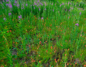 Eagle Cap - Paintbrush and Fireweed