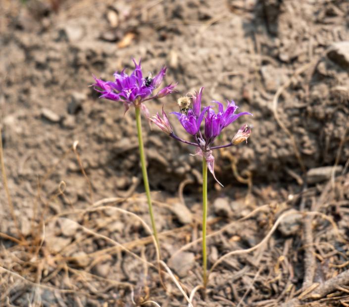 Allium (Pacific Onion?)