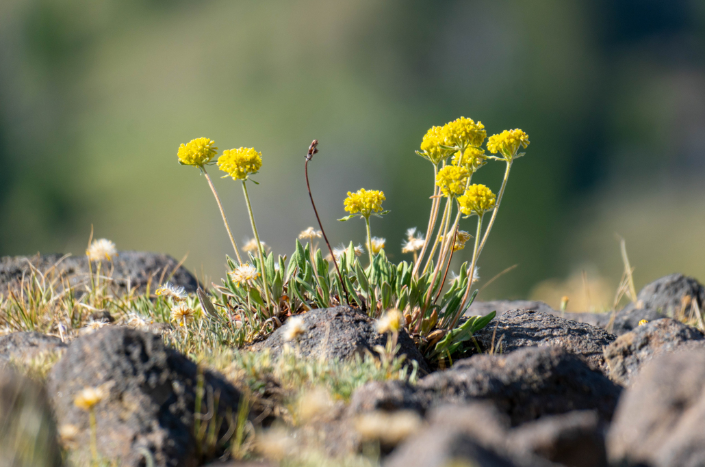 Alpine golden buckwheat.