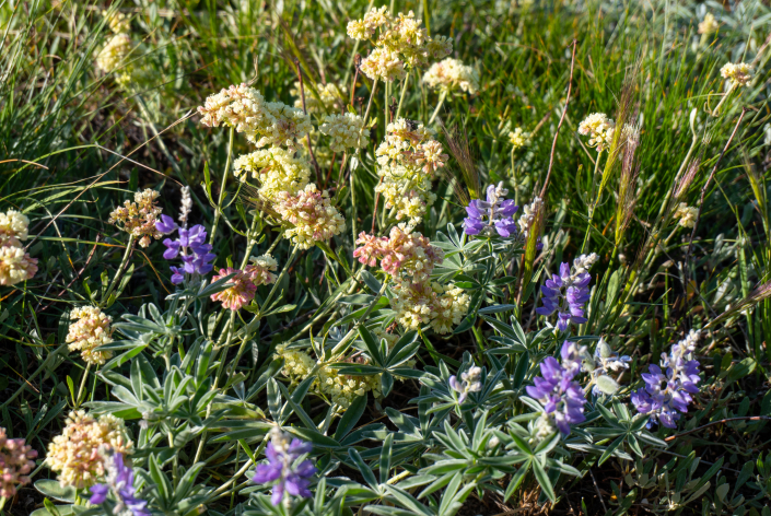 Lupines and Parsnip buckwheat.